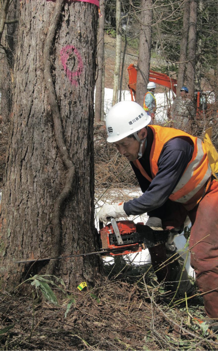 直径50センチ程度のカラマツ伐採風景